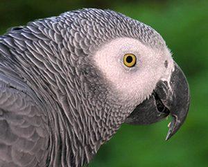 petopedija-africki-sivi-papagaj-1