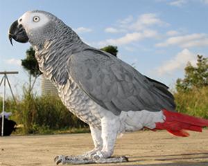 petopedija-africki-sivi-papagaj-2