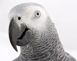 petopedija-africki-sivi-papagaj-3