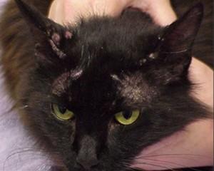 Mačka sa alergijskim dermatitisom