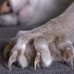 Bartoneloza – bolest mačije ogrebotine