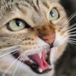 Besnilo kod mačaka