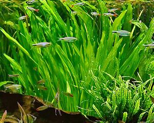 petopedija-biljke-u-akvarijumu-4