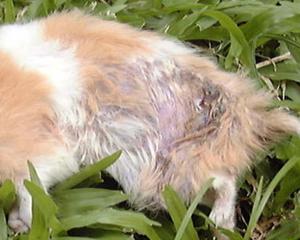 petopedija-bolesti-koze-2