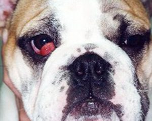 Pas sa problemom trećeg očnog kapka