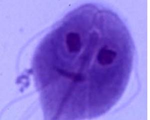 Izgled đardije pod mikroskopom