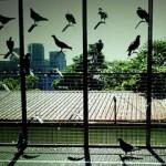 Golubarstvo za početnike – koliko je golubarstvo popularno?