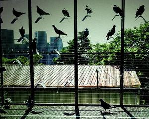 petopedija-golubarstvo-za-pocetnike-1