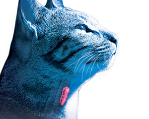 petopedija-hipertiroidizam-macaka-3