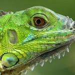 Iguana: ko je najpoznatija predstavnica iguana?