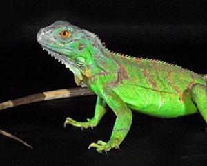 petopedija-iguane-3