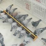 Ishrana golubova: u čemu se sastoji osnovna ishrana golubova?