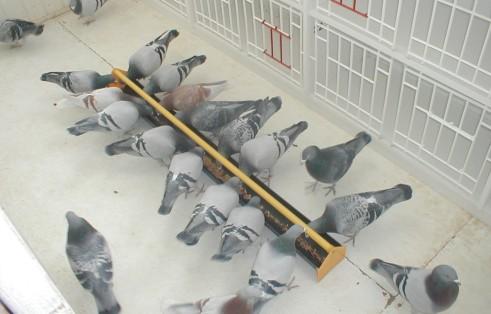 petopedija ishrana golubova