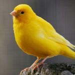 SAZNAJTE: Da li je kanarinac isto što i papagaj?