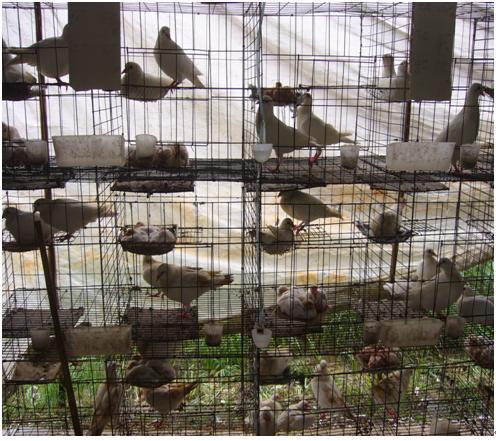 petopedija kavez za golubove 1