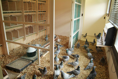 petopedija kavez za golubove 4