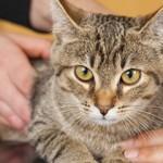 Kriptorhizam kod mačaka