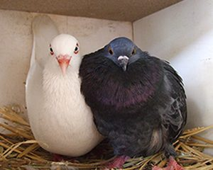 petopedija-mikoplazma-kod-golubova-2