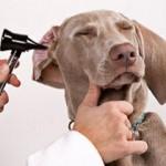 Nega ušiju pasa