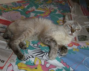 Mačka sa piometrom