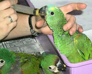 petopedija-pripitomljavanje-papagaja-3