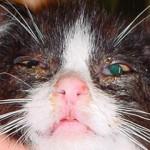 Rinotraheitis kod mačaka
