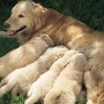 Kada štenci prestaju da sisaju i prelaze na čvrstu hranu?