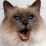 Stomatitis kod mačaka
