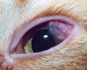 petopedija-suvo-oko-3