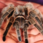 Tarantula za početnike: Da li je tarantula isto što i pauk?