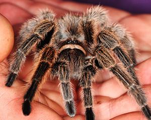 petopedija-tarantula-2