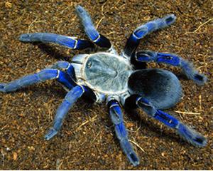 petopedija-tarantula-3