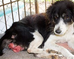 Pas sa transmisabilnim veneričnim tumorom