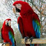 Utvrđivanje pola kod papagaja