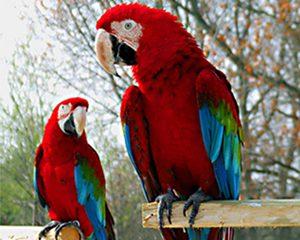 petopedija-utvrdjivanje-pola-papagaja-3