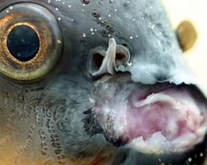 petopedija_bolesti_akvarijumskih_riba_1