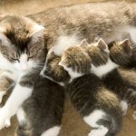Ishrana mačaka koje doje