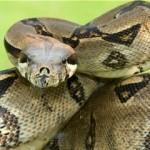 Zmija: Da li je zmija dobar izbor za kućnog ljubimca?