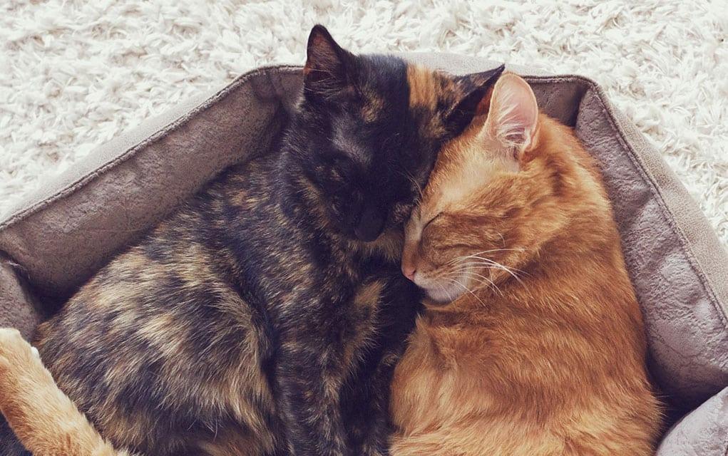Polna zrelost i razmnožavanje kod mačaka
