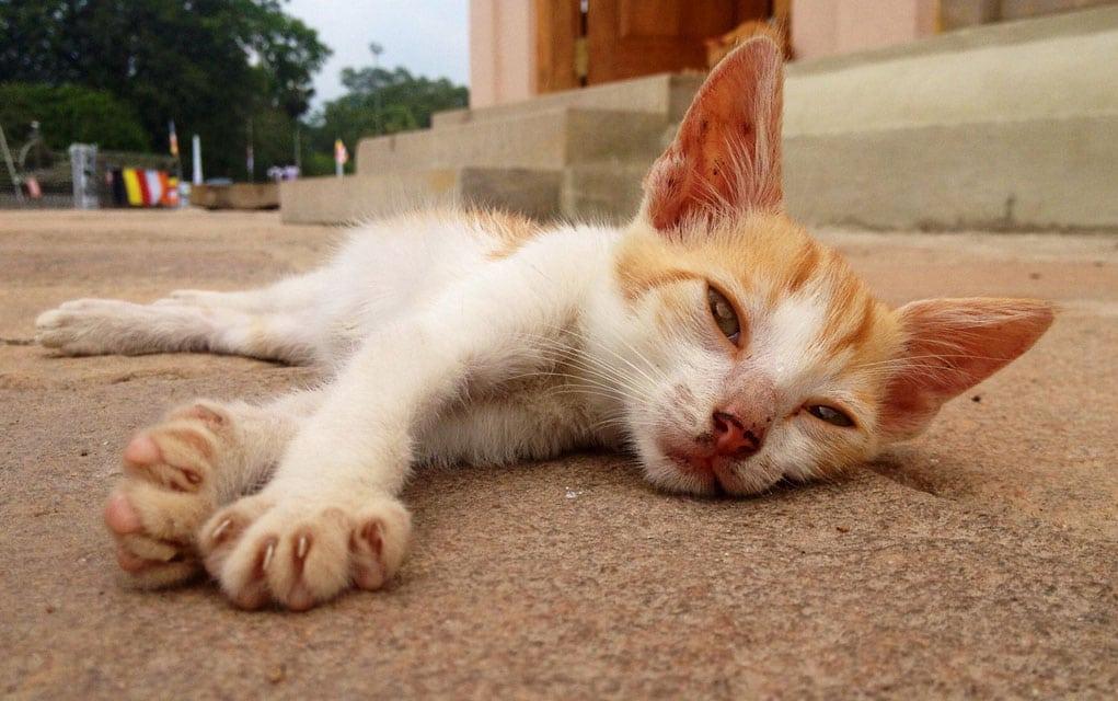Trovanje kreozanom kod mačaka