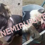 POTPIŠI PETICIJU: STRAVA U POŽAREVCU: Komšija do smrti pretukao štene staro 4 meseca!