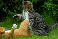 agresivnost-macaka