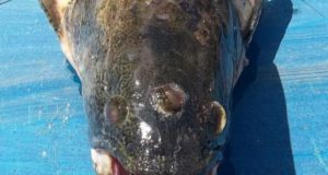 trooka riba petface