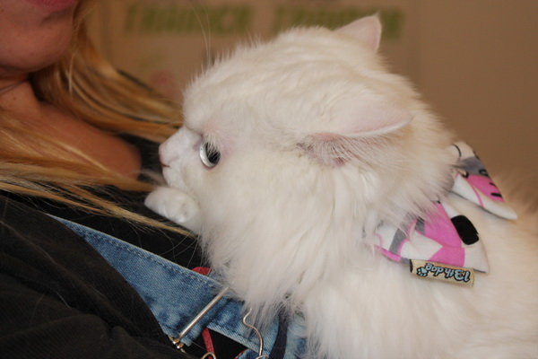 Spašen sa ulice, Garfild je nova najlepša mačka Srbije!