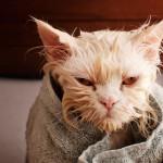 URNEBESNO: Fotografije tek okupanih mačaka ulepšaće vam dan!