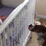 Bokser, najvernija dadilja novorođenoj bebi! (VIDEO)