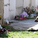 Nemački ovčar, sa slomljenom nogom, 10 dana leži na grobu preminulog vlasnika!