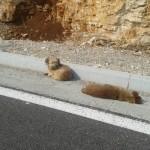 SRCE DA PREPUKNE: 4 dana pas leži pored uginulog psa na putu u Crnoj Gori!