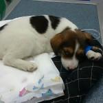 HITNO, HITNO: Psu potrebna krv. Svaki minut je bitan, pas je životno ugrožen!
