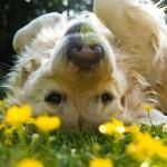 ISTRAŽIVANJA POKAZALA: Kućne ljubimce muče alergije na polen!